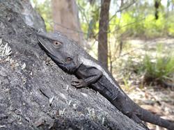 Jacky Dragon (Adult male)