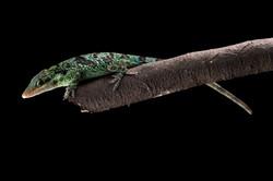 Andean Chameleon (female)