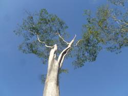 Apuleia leiocarpa