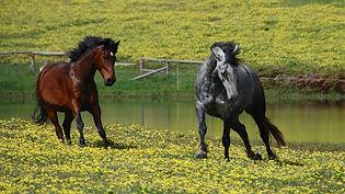 Wadi Farm horses