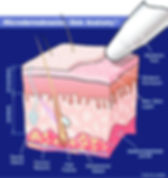microdermskinanatomy_edited.jpg