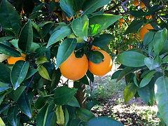 Orangen Baum Hain.jpg