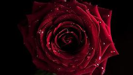 1131268-rose.jpg