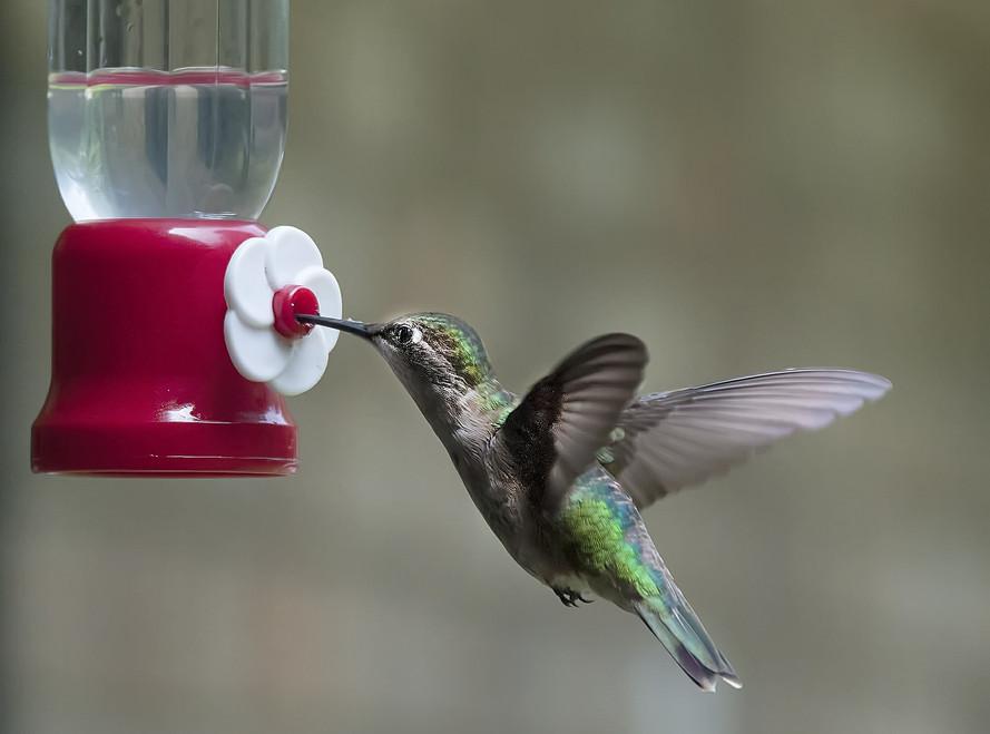 hummingbird-599443_1920.jpg