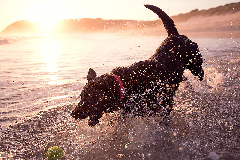 A black dog splashes and chases her ball at the beach