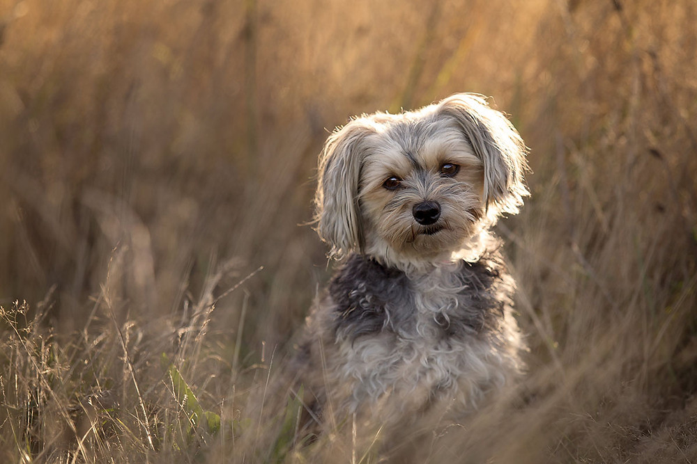 A small Sydney silky Maltese terrier cross sitting in long grass for a pet photoshoot