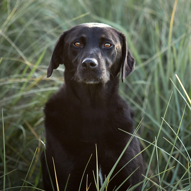 Portrait of black dog in long grass at the beach