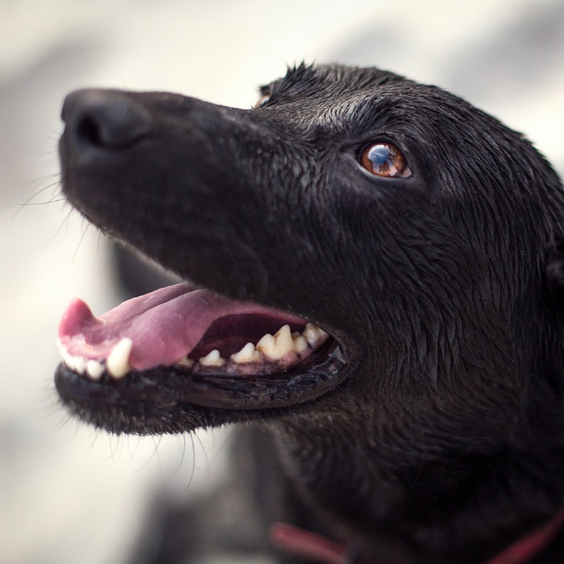 Close-up picture of a black dog