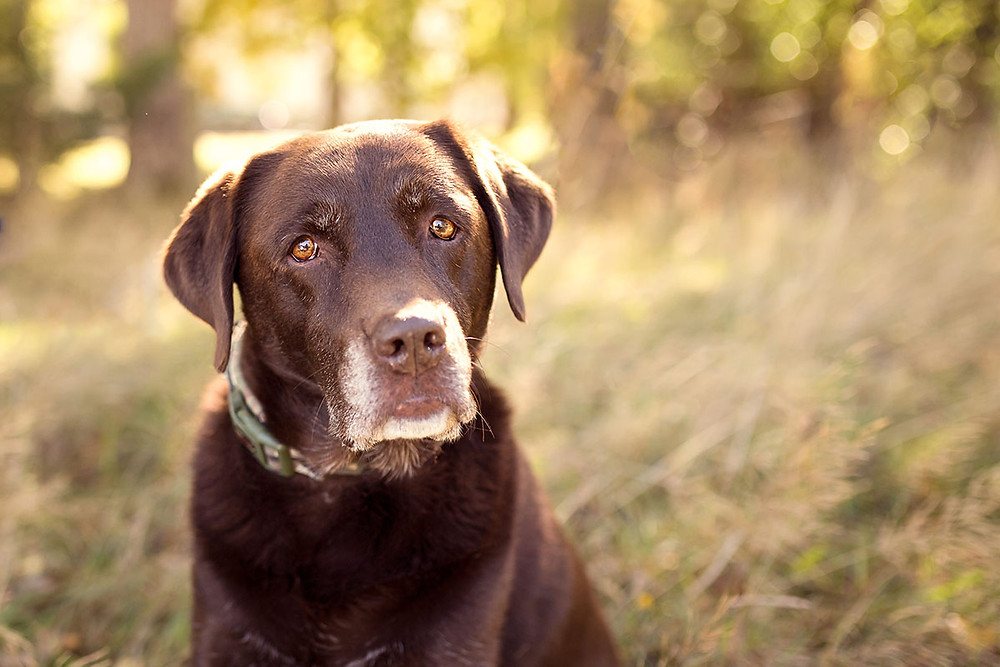 A chocolate lab dog sitting in long grass in Dunedin