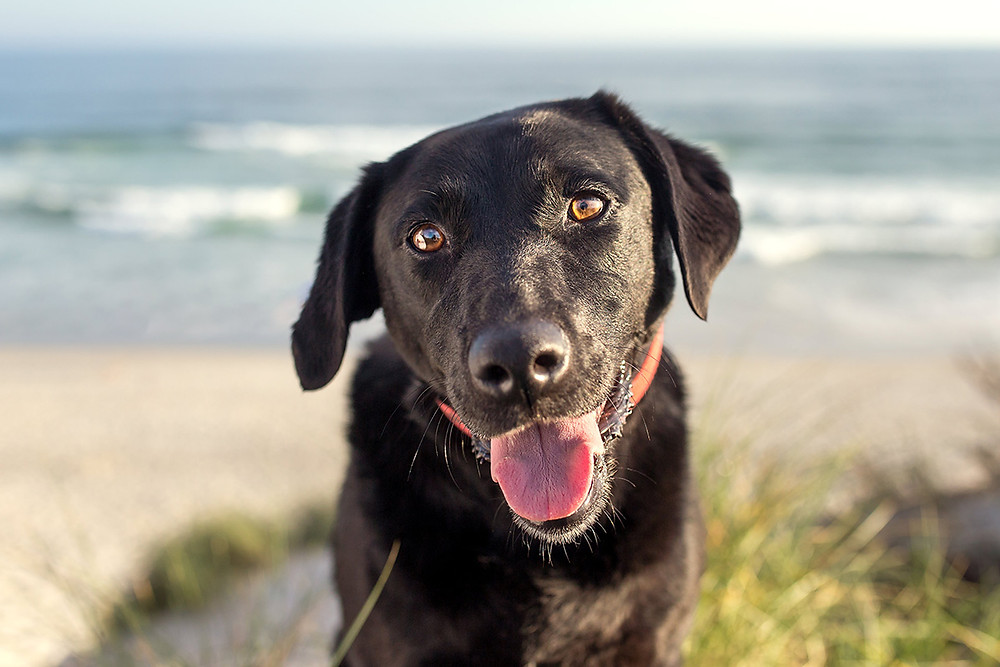 Portrait of a black dog at St Clair beach, Dunedin, New Zealand