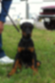 Hilltophaven Dobermanns|European Dobermanns|Doberman Breeders