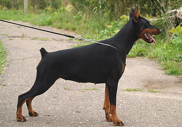 Hilltophaven - Doberman Breeders focusing on champion European Dobermann lines in Canada