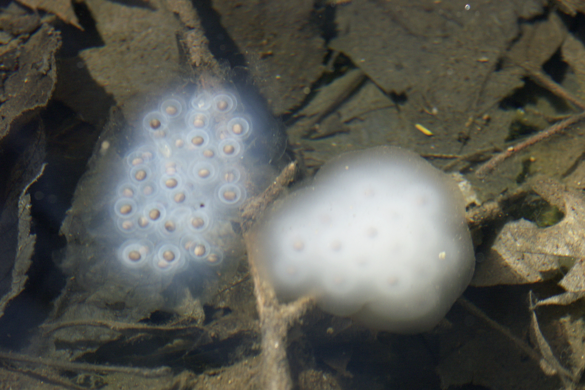 spotted salamander eggs