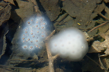 cloudy and clear spotted salamander egg masses