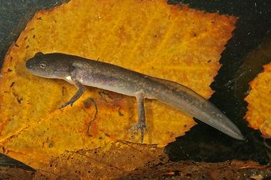 Jefferson salamander larva