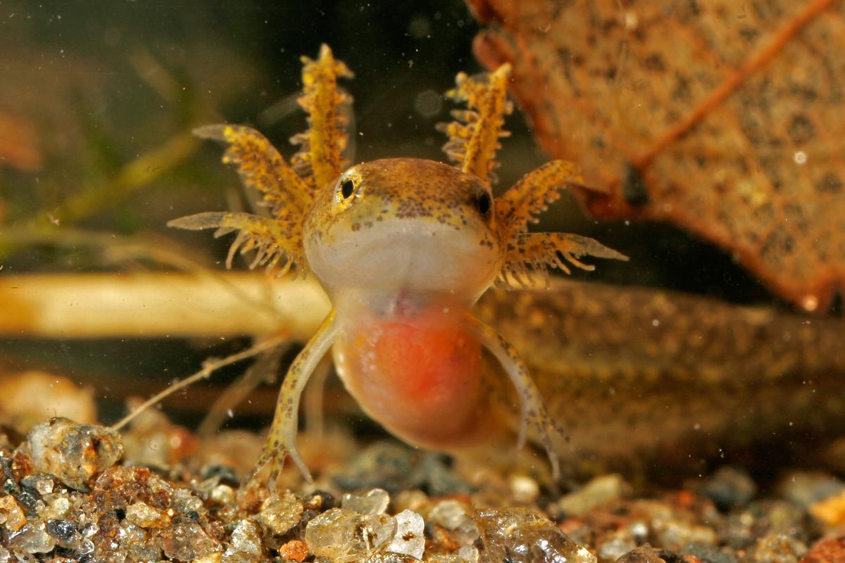 spotted salamander larva