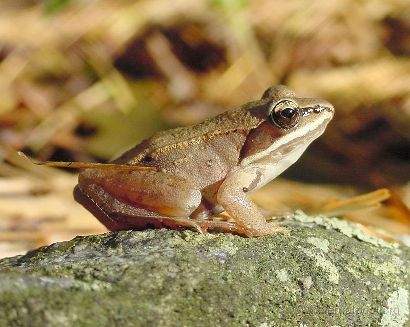woodfrog2.jpg