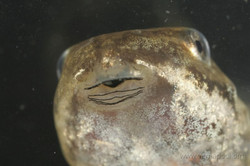 Wood frog mouth parts