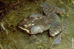 Wood Frog Chorusing