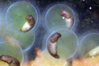 salamander egg with Oophilia amblystomatis
