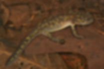 spotted salamander emergent