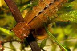 predaceous diving beetle larva