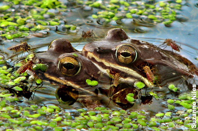 Wood frogs in amplexus