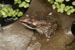 Recent wood frog metamorph