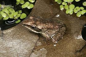 emergent wood frog