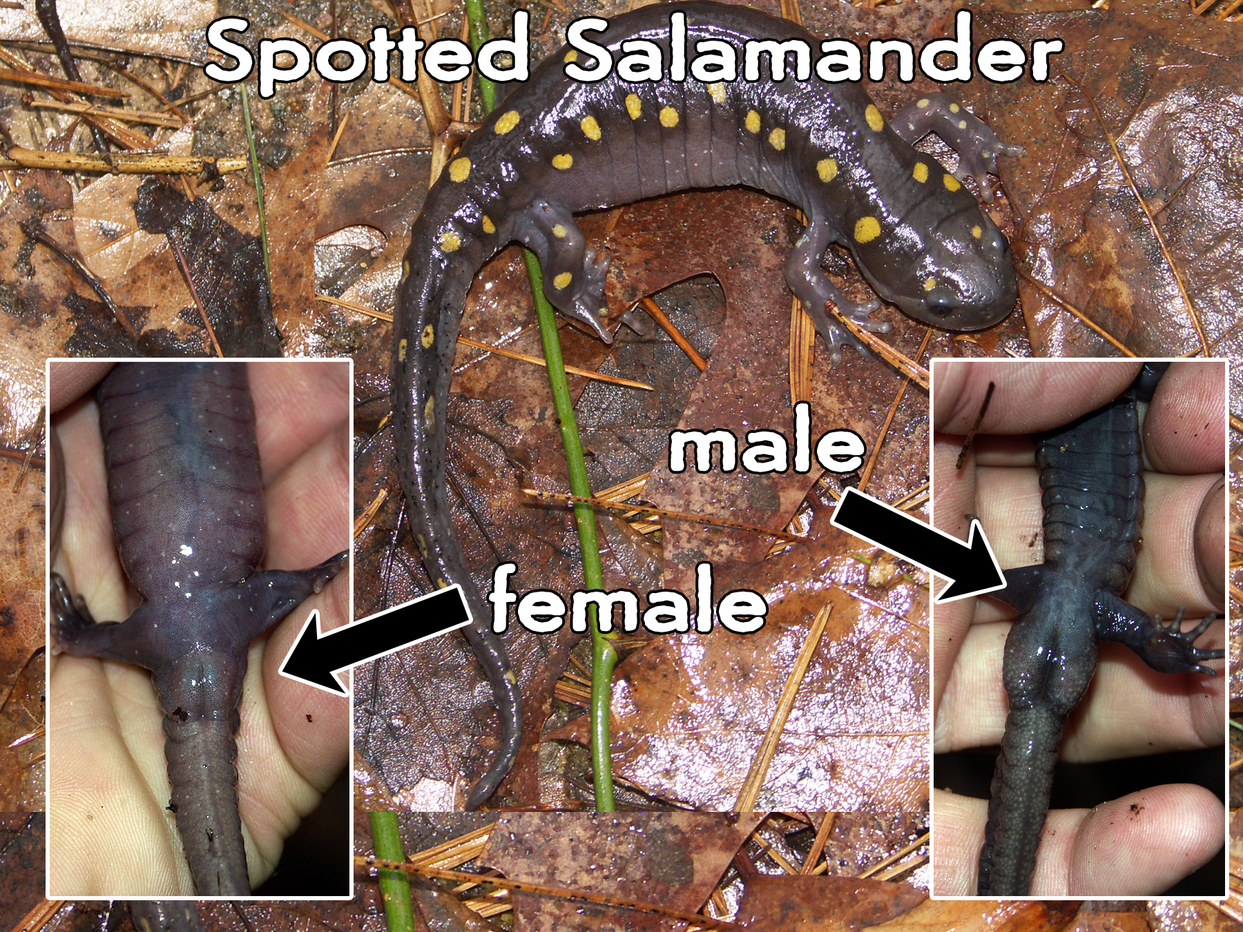 male vs female spotted salamander