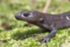 Jefferson salamander.