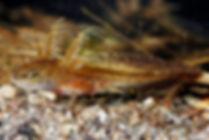 spotted salamande larva