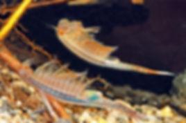 Vernal pool fairy shrimp,Eubranchipus vernalis.