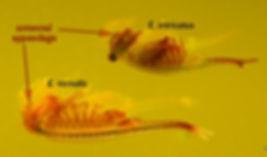 Acomparison of E.vernalis and E. intricatus.