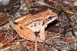 Wood frog juvenile