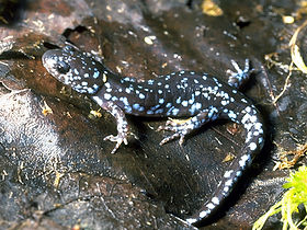 blue-spotted salamander, Ambysoma laterale