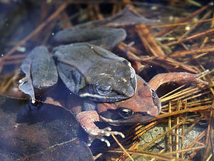 wood frogs i amplexus