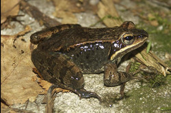 Adult wood frog