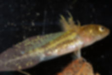 Jefferson salamader larva.