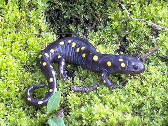 Spotted salamander, Ambystoma maculatum.
