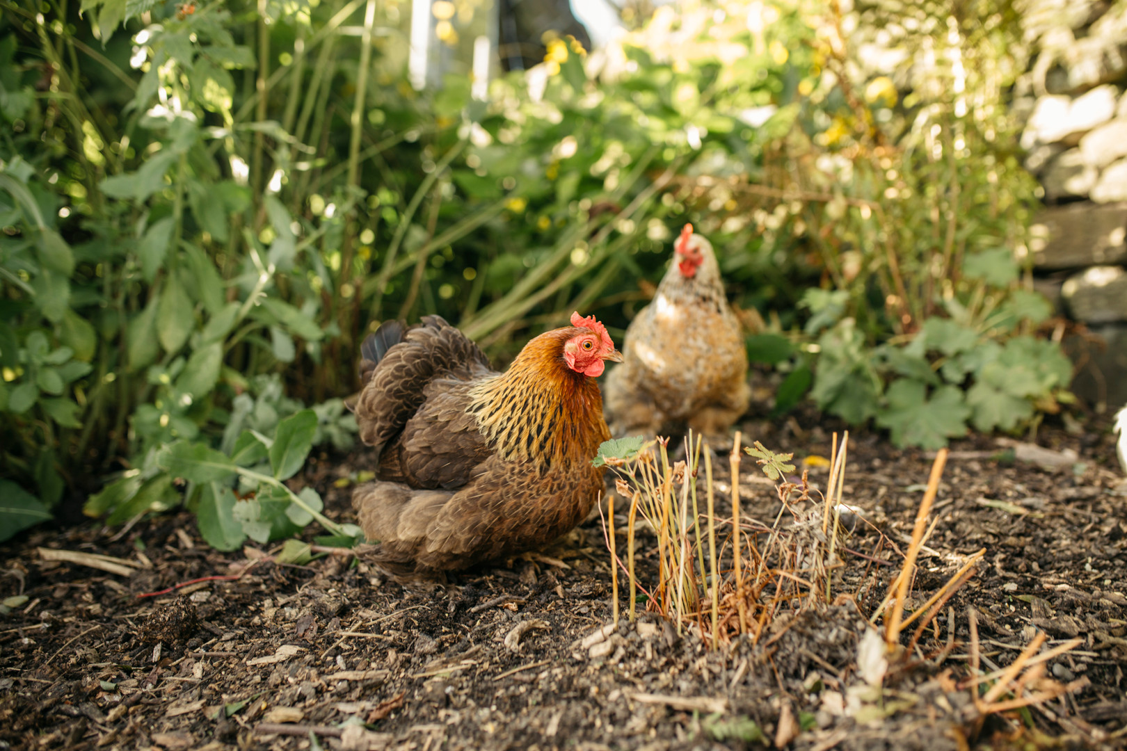 Flower patch chickens keeping an eye on things