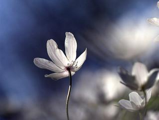 Vårblommor på den skånska Sydkusten