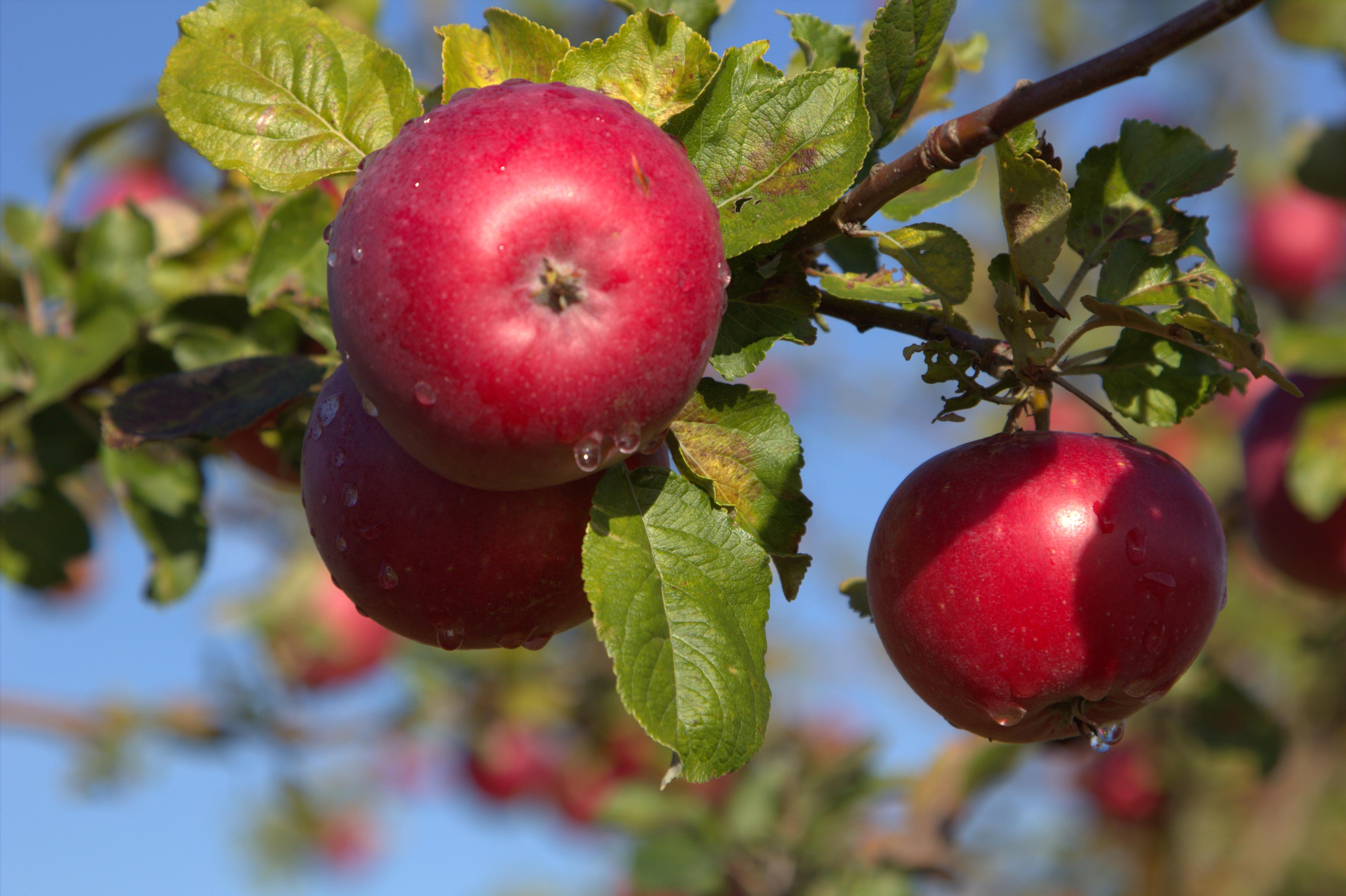 Sydkusten Skåne Österlen äppleodling