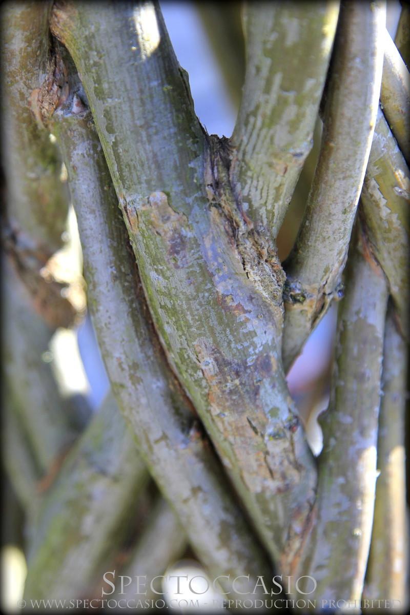 willow fence Hylteberga