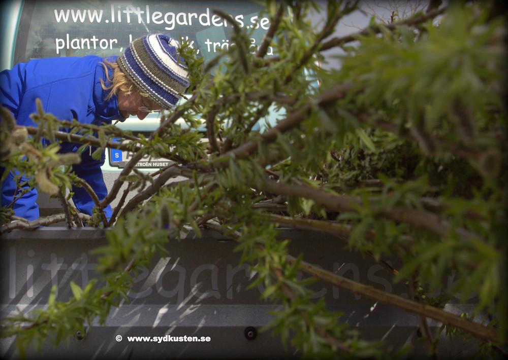 Sydkusten Pillehill Brasserie Little Gardens levande pil staket fläta