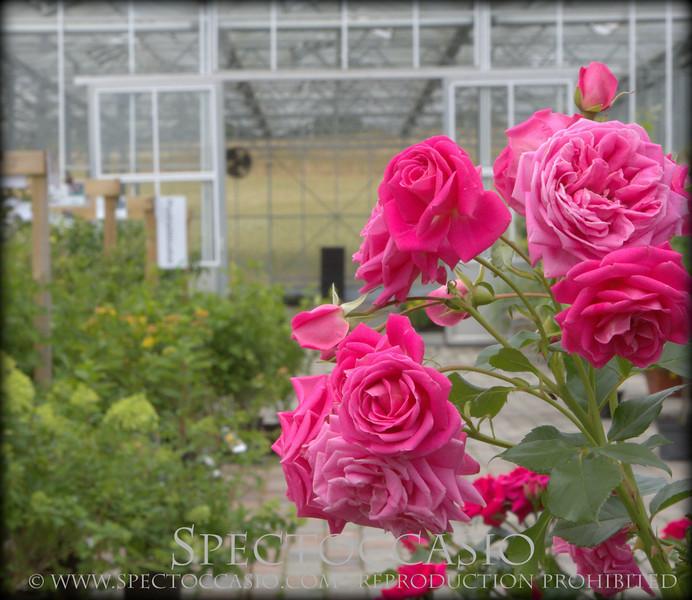 Sydkusten Skåne Gunnebo Trädgård rosor temahelg