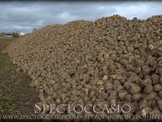 Sockerbetor på den skånska Sydkusten