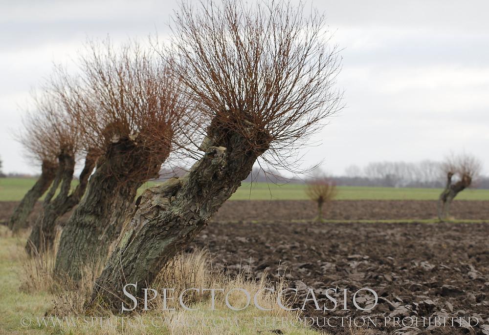 willow trees skåne sydkusten