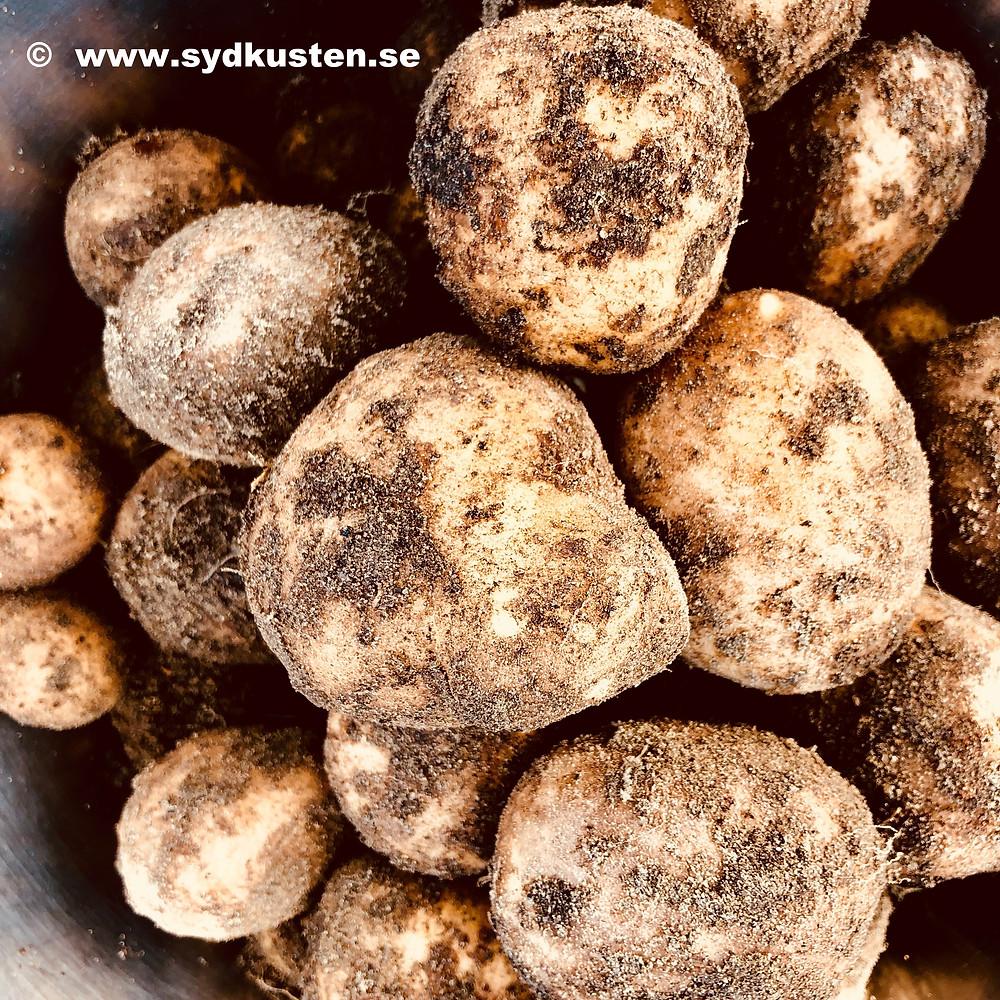 Sydkusten potatoes farming Sweden Skåne food