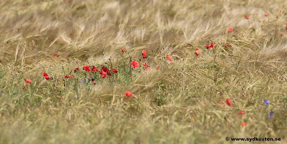 Sydkusten Skåne korn fält